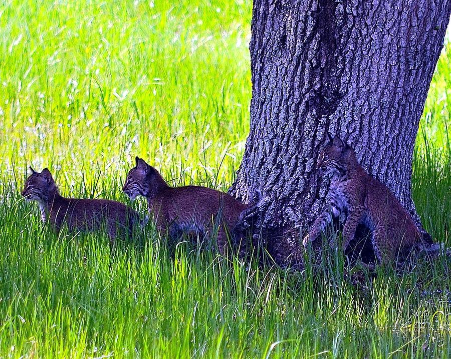 Bobcat Photograph - Bobcat Cubs by Diana Berkofsky