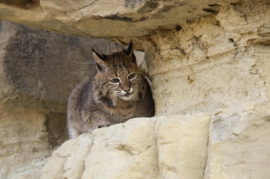 Bobcat Felis Rufus Photograph