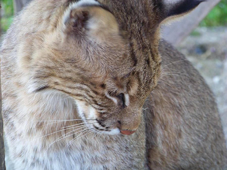 Bobcat2 Photograph