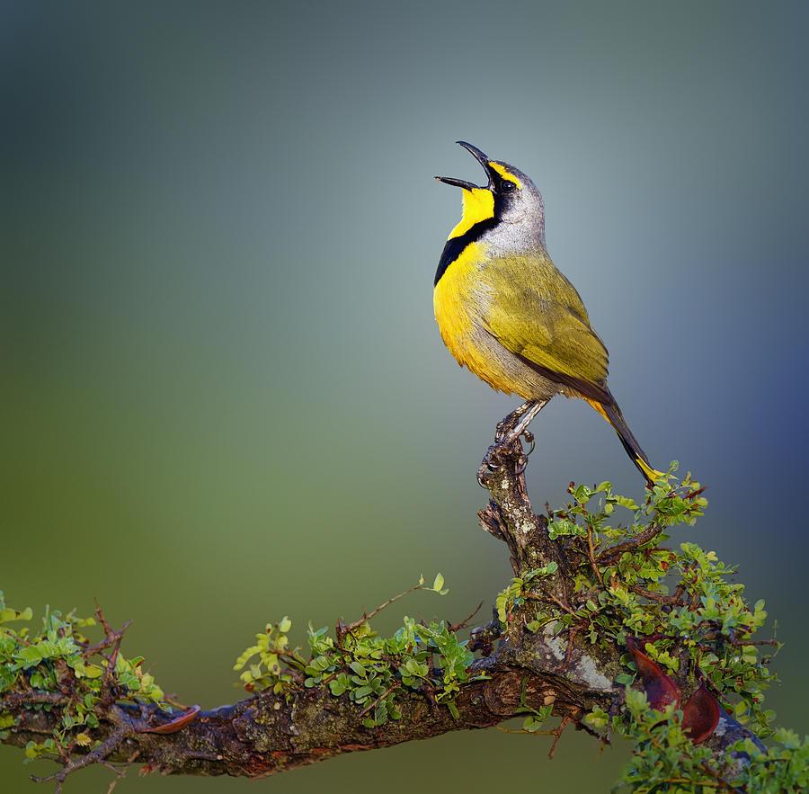 Bokmakierie Bird - Telophorus Zeylonus Photograph
