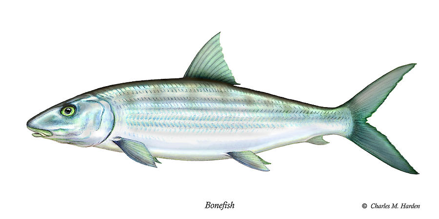 Charles Painting - Bonefish by Charles Harden