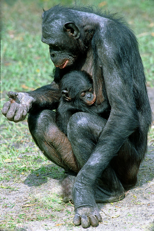Fauna Photograph - Bonobo Pan Paniscus Nursing by Millard H. Sharp