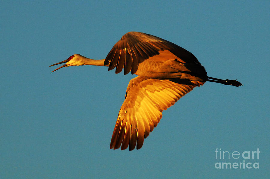 Bosque Del Apache Sandhill Crane Golden Light Photograph