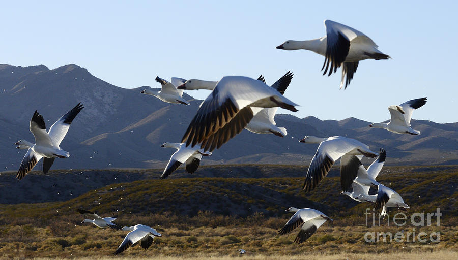 Bosque Del Apache Snow Geese In Flight Photograph