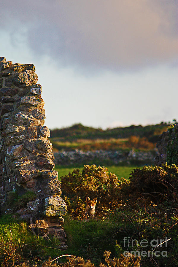 Botallack Fox At Sunset Photograph  - Botallack Fox At Sunset Fine Art Print