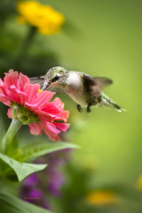 Hummingbird Photograph - Botanical Hummingbird by Christina Rollo