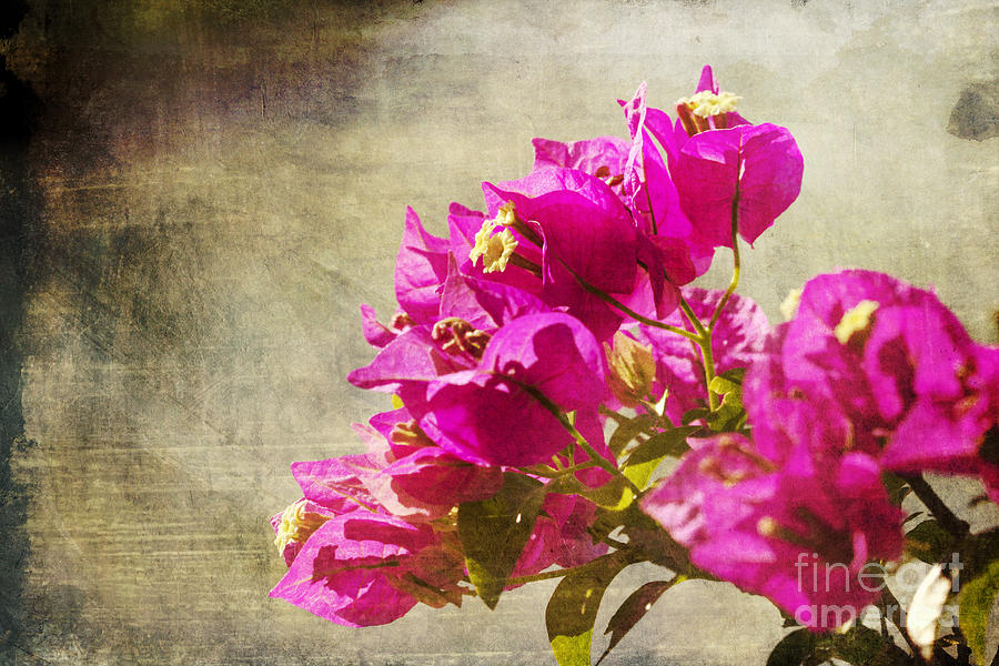 Bougainvillea Dreams Photograph