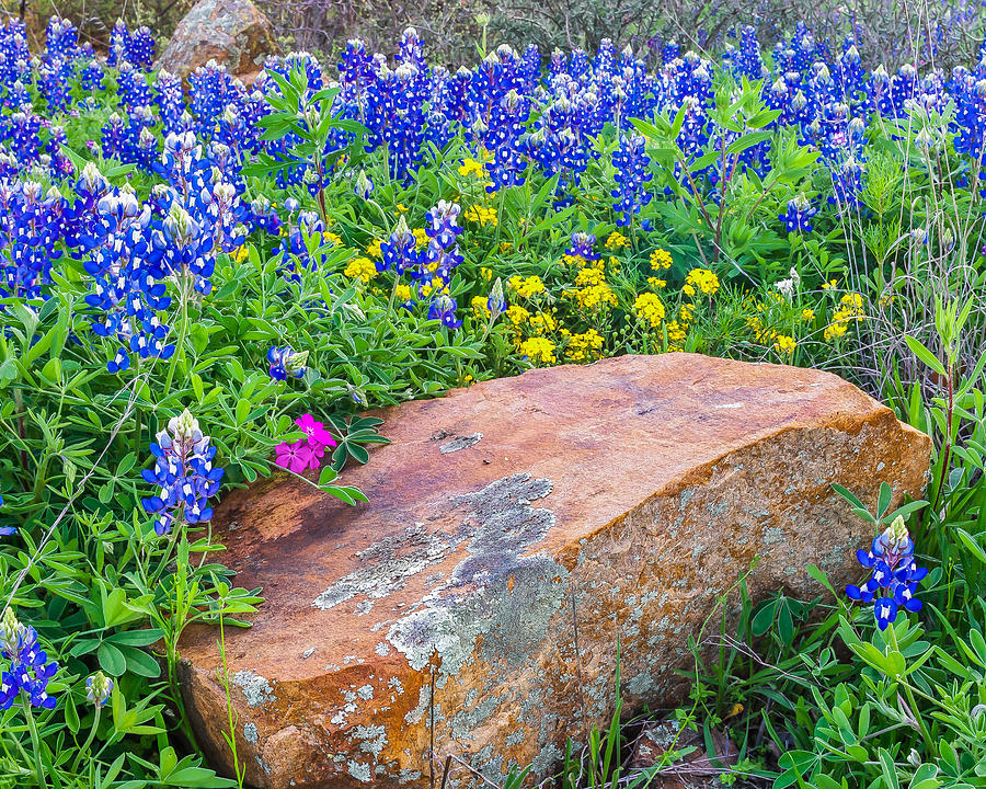 Boulder And Bluebonnets Photograph  - Boulder And Bluebonnets Fine Art Print