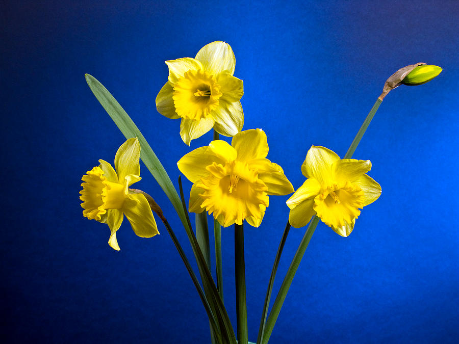 personal memories connected with daffodils Answer to the question will daffodils killer other flowers in a mixed cut-flower daffodils flower killer or urban legend connect with facebook name email.