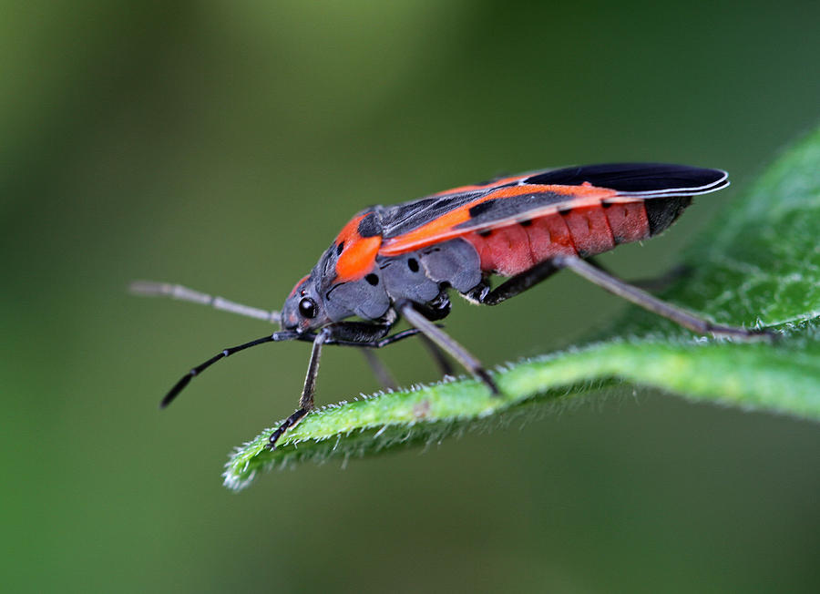 Boxelder Bug Photograph