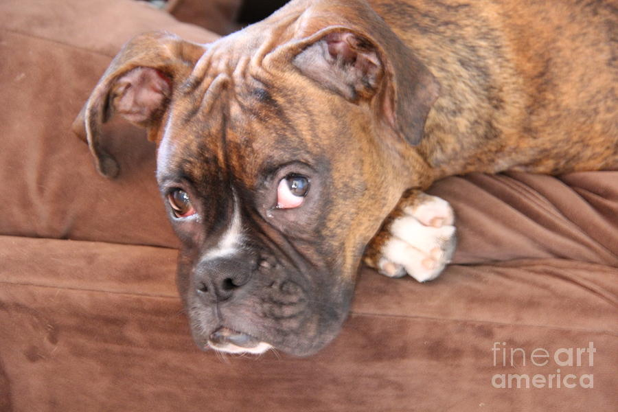 Boxer Boy Photograph  - Boxer Boy Fine Art Print