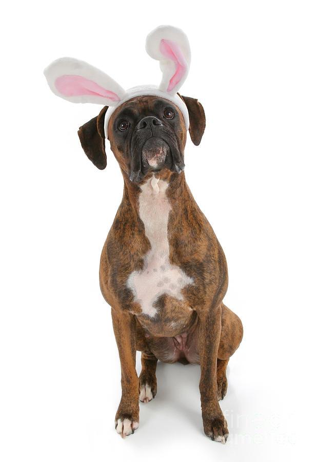 Boxer Bunny Photograph
