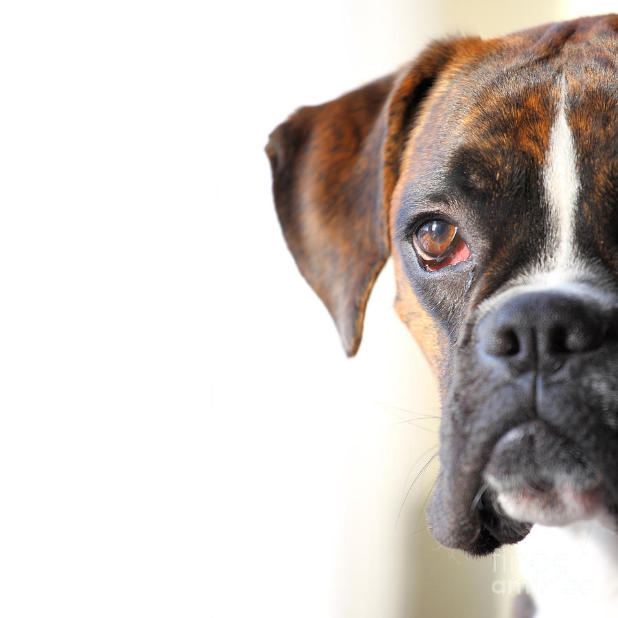 Boxer Dog Photograph  - Boxer Dog Fine Art Print