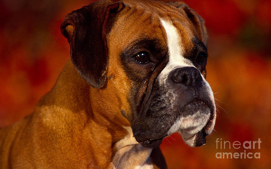 Boxer Mixed Media  - Boxer Fine Art Print