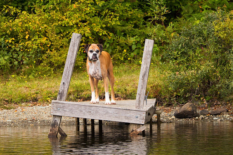 Boxer On Lake Dock Photograph  - Boxer On Lake Dock Fine Art Print