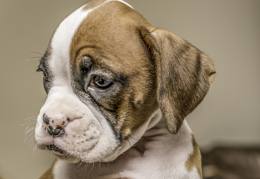Boxer Puppy Photograph