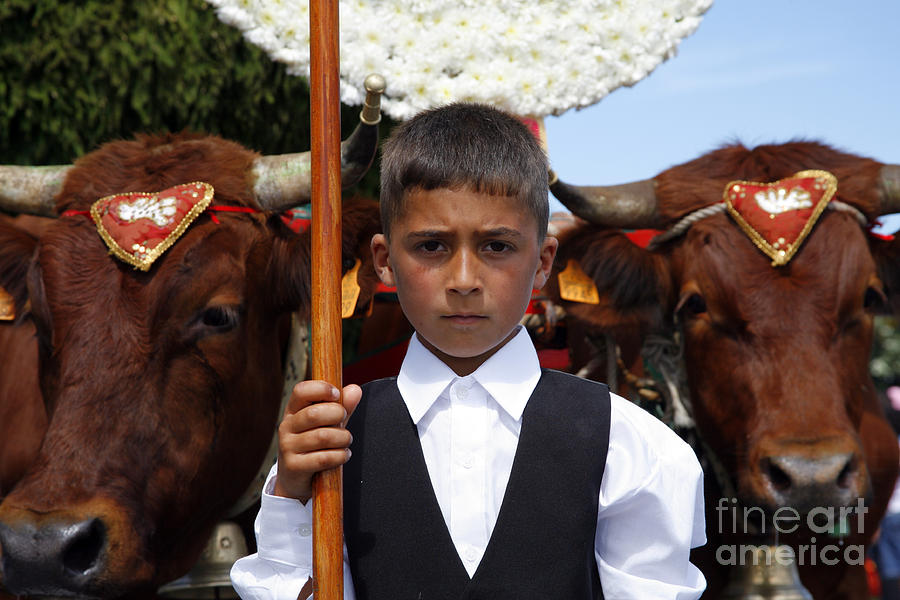 Boy And Oxen Photograph  - Boy And Oxen Fine Art Print
