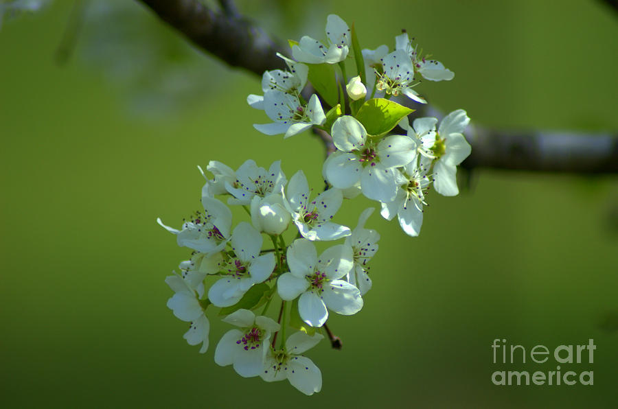 Bradford Pear Blossoms Photograph