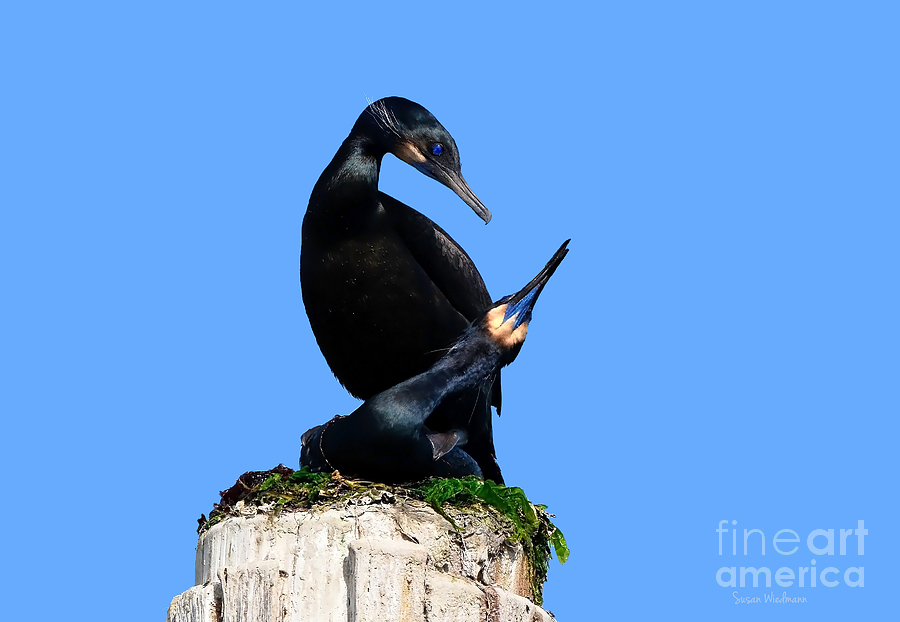 Brandts Cormorants In Love No. 1 Photograph  - Brandts Cormorants In Love No. 1 Fine Art Print