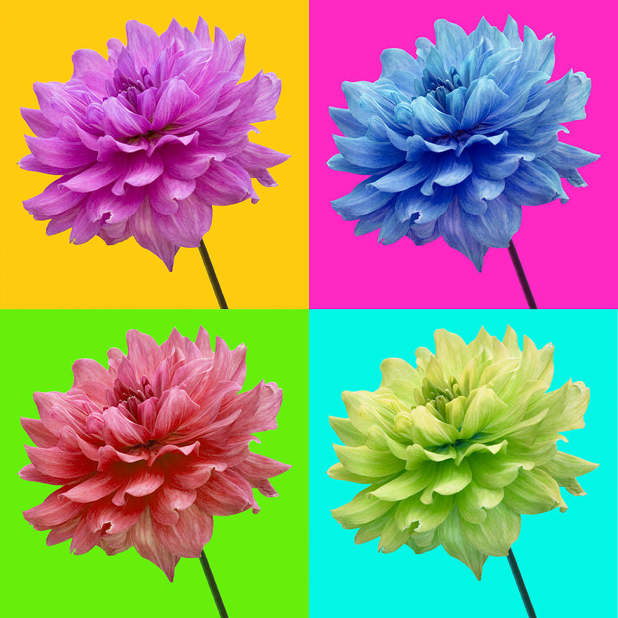 Bright Colored Dahlia Flowers Photograph by Natalie Kinnear