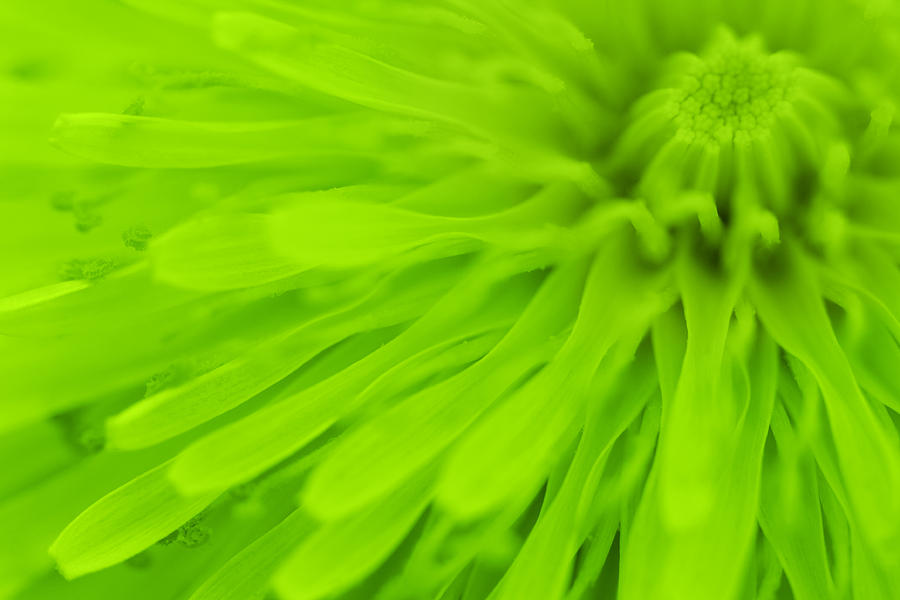 Bright Lime Green Dandelion Close Up Photograph