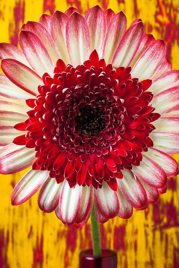 Bright Red And White Mum Photograph