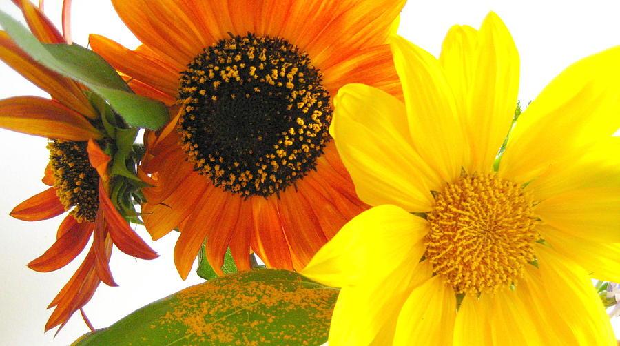 Sunflower Photograph - Bright Trio by Kathy Bassett