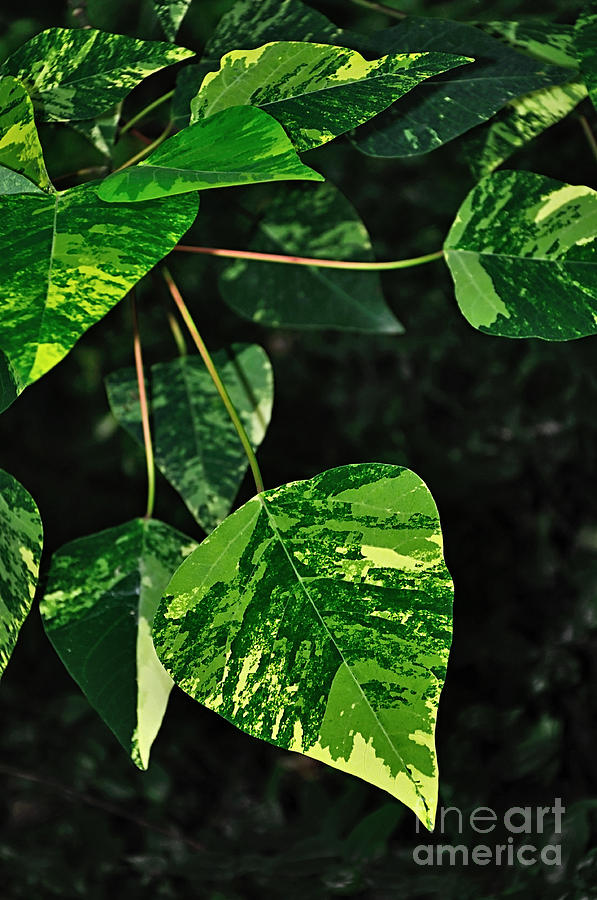 Photography Photograph - Bright Variegated Leaves by Kaye Menner