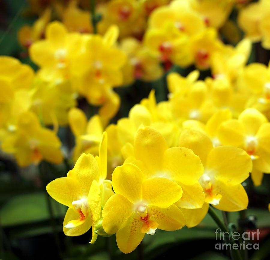 Orchid Photograph - Bright Yellow Tropical Butterfly Orchids by Yali ... Yellow Butterfly Orchid
