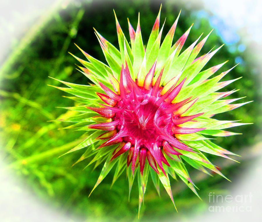 Brighter Pineapple Flower Photograph  - Brighter Pineapple Flower Fine Art Print