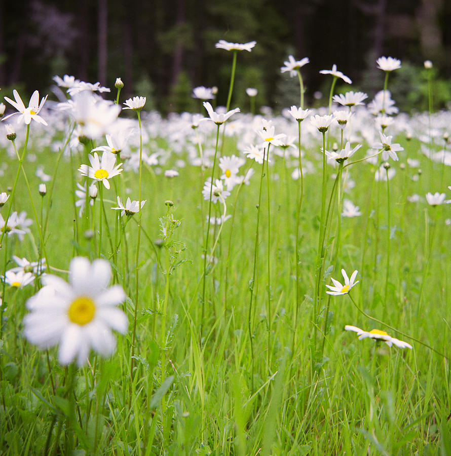 Brilliant Daisies Photograph