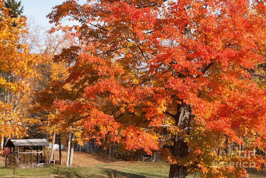 Brilliant Red Maple Tree On A Farm In Autumn Near Marlboro Vermont Photograph