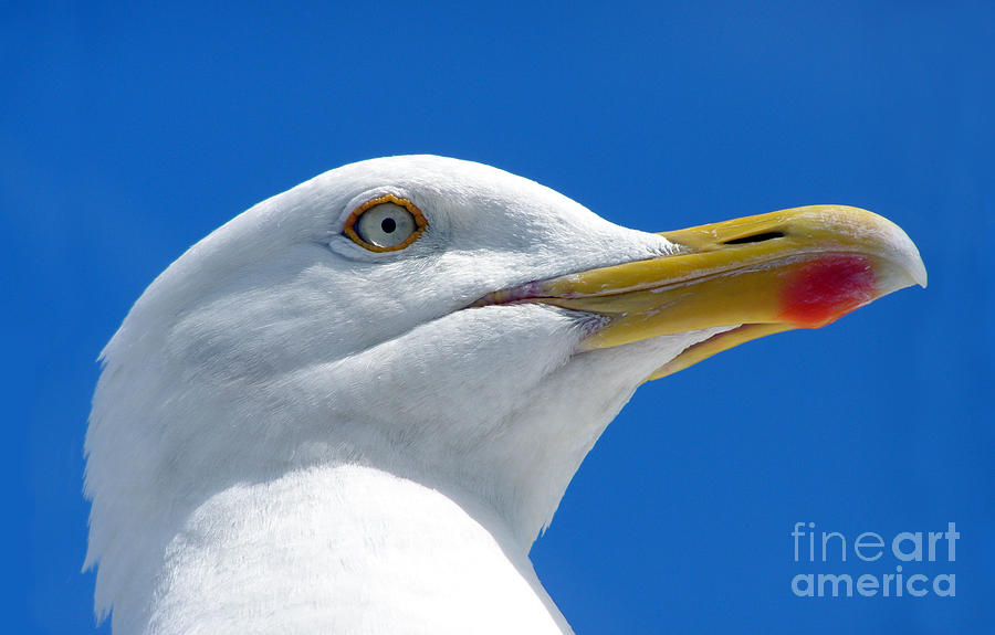 British Herring Gull Photograph