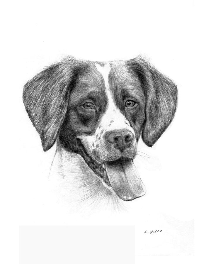 Brittany Spaniel Drawing By Lou Ortiz
