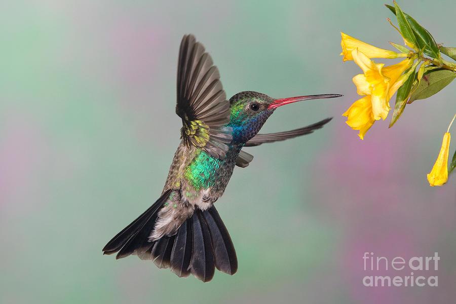Broadbilled Hummingbird Photograph - Broad-billed Hummingbird by Jim Zipp