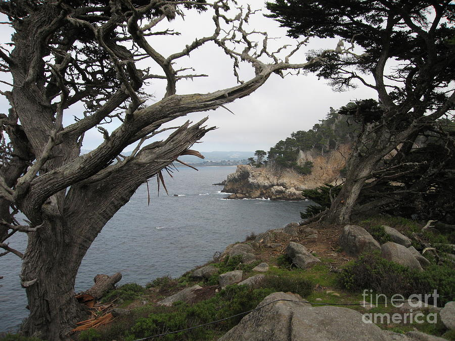 Broken Cypress Photograph