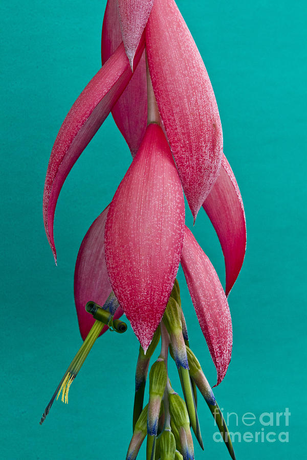 Bromelia Bilbergia Windii Photograph