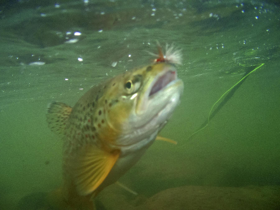 Brow Trout In Gallatin River Photograph