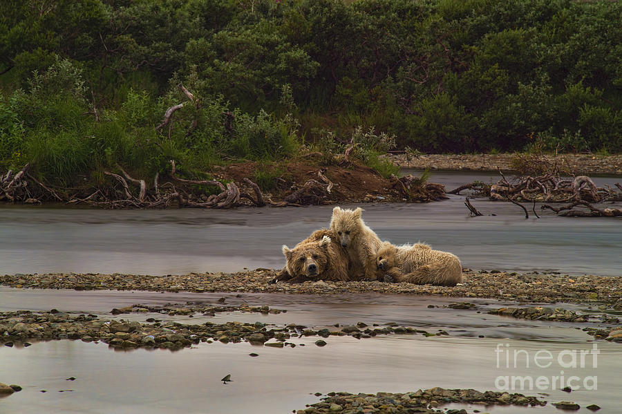 Brown Bear And Cubs Taking A Break From Fishing For Salmon Photograph