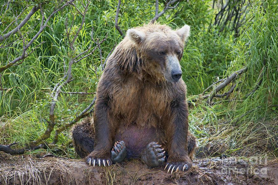 Brown Bear Photograph - Brown Bear Sitting Waiting For Salmon by Dan Friend