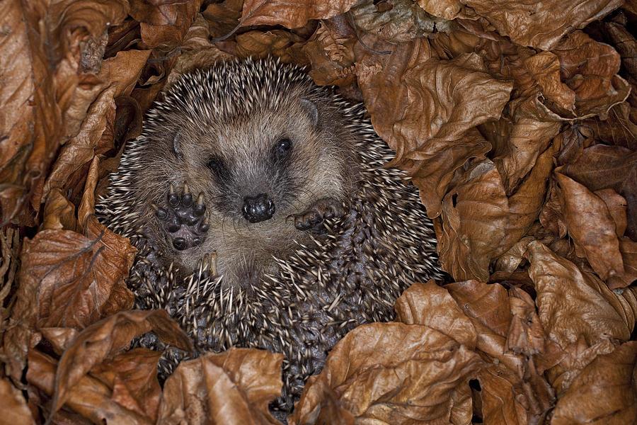 Feb0514 photograph brown breasted hedgehog hibernating by ingo arndt