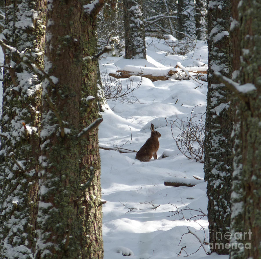 Brown Hare - Snow Wood Photograph  - Brown Hare - Snow Wood Fine Art Print