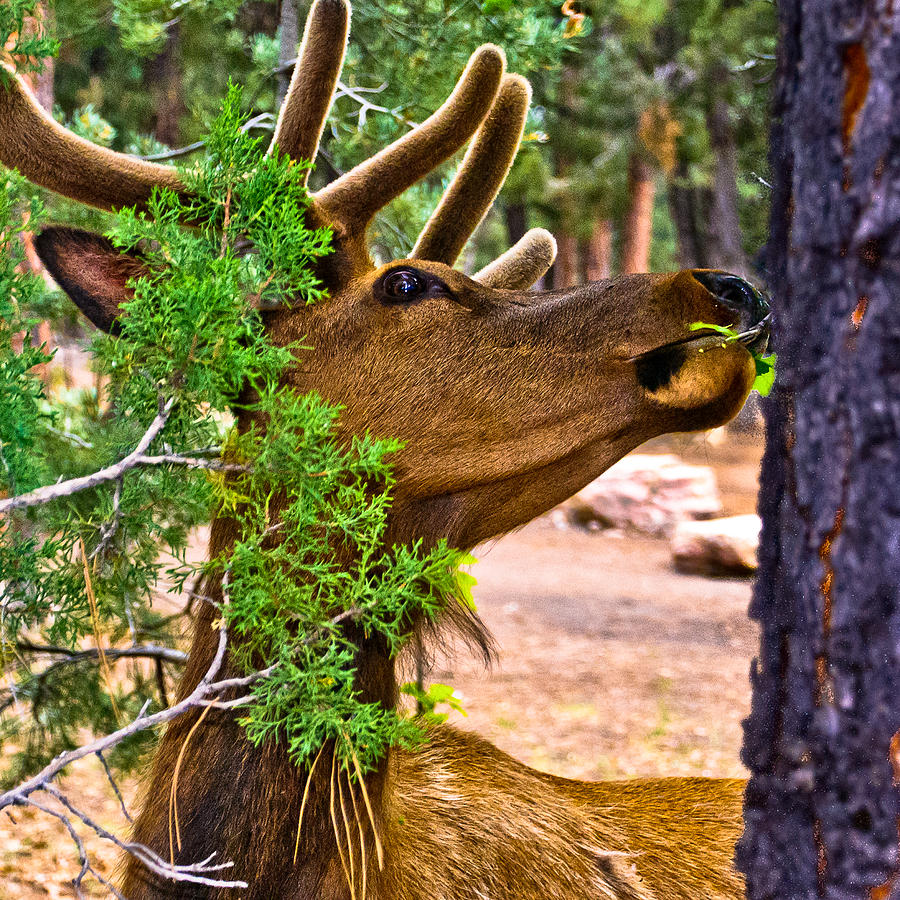 Grand Canyon Photograph - Browsing Red Deer In The Grand Canyon by Bob and Nadine Johnston