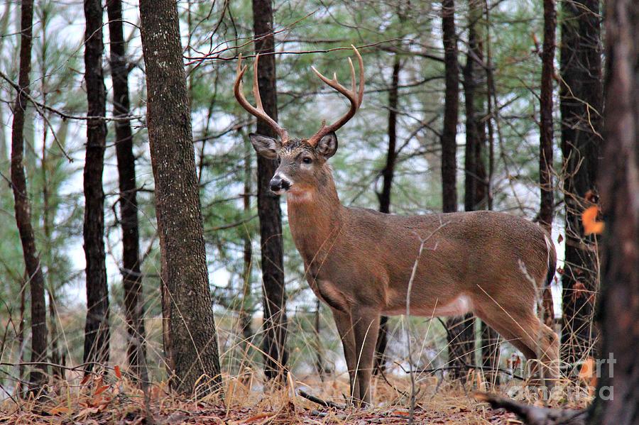 Whitetail Buck Rack Photograph - Buck Master by Leslie Kirk