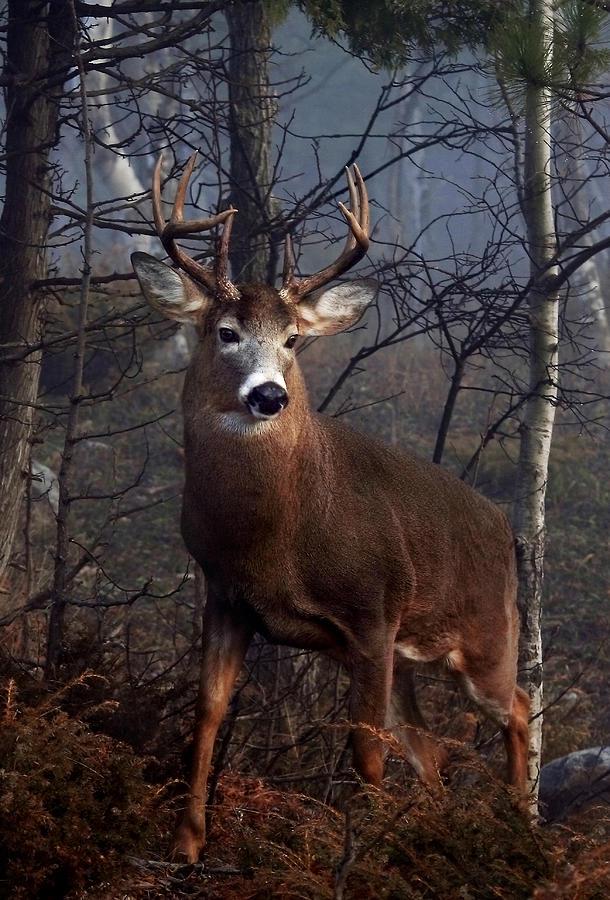 Buck On Ridge Photograph