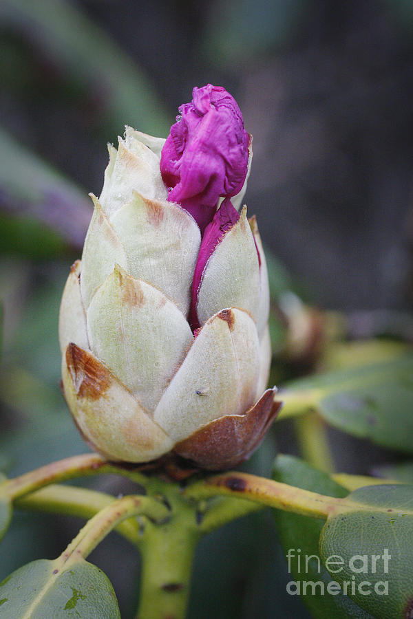Budding Rhododendron Photograph