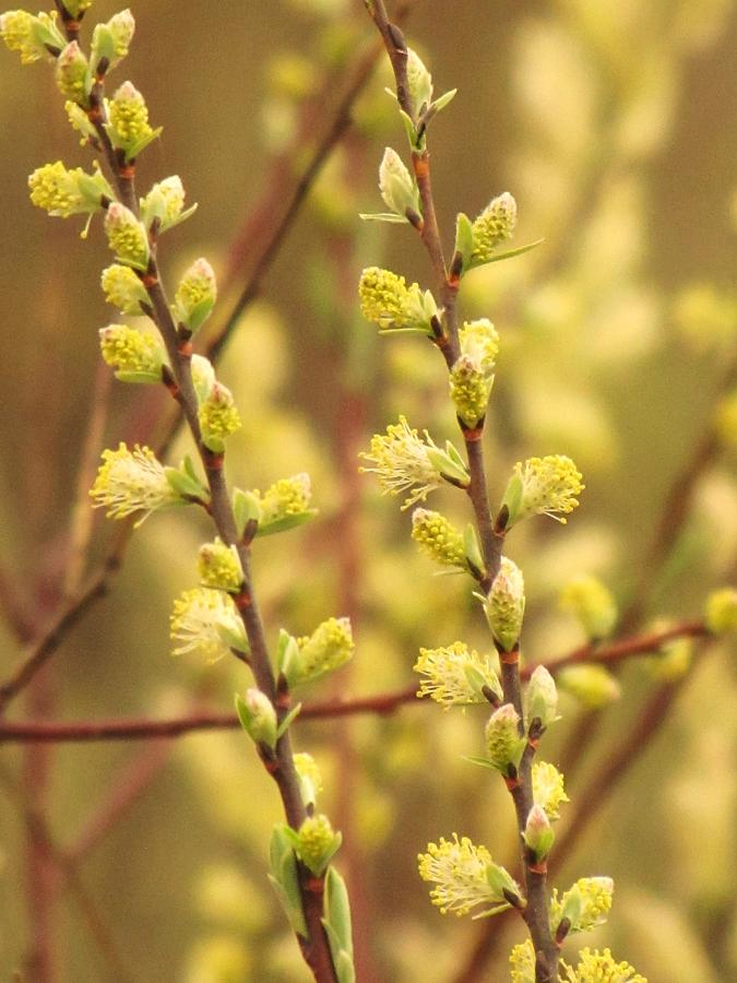 Trees Photograph - Budding Yellow by Lori Frisch