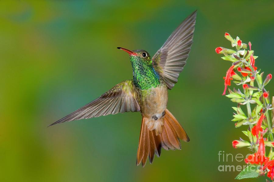 Buff-bellied Hummingbird Photograph