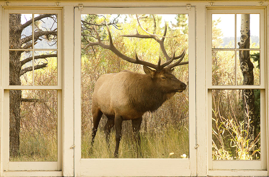 Bull Elk Window View Photograph