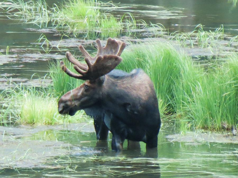Bull Moose In The Wild Photograph